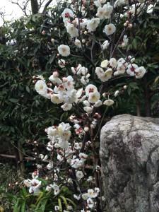 庭の梅、満開です!(^^)!