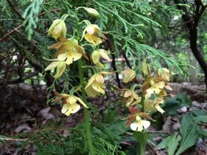庭の片隅でひっそりと咲くエビネラン