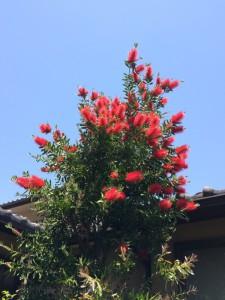 ブラシの木
