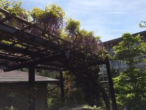 茶室前の藤棚、背景はA棟
